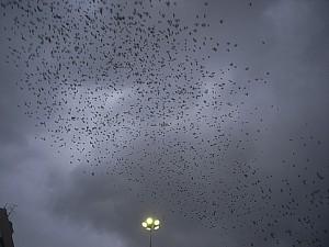 藤沢の鳥の群れ