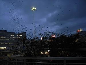 鳥の群れが一斉に木に舞い降りる 藤沢