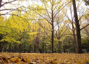 代々木公園 銀杏