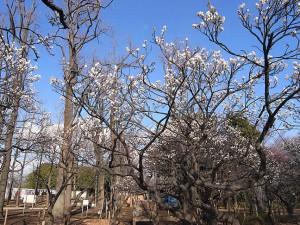 羽根木公園 梅ヶ丘の梅