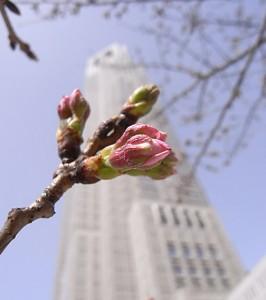22.3.21都庁の前の桜<br />