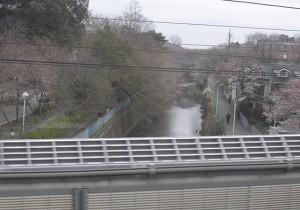 成城近くの仙川辺りの桜開花状況<br />