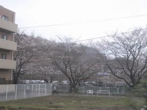 麻生川辺り開花状況<br />