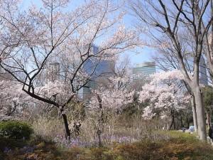 新宿中央公園の桜<br />