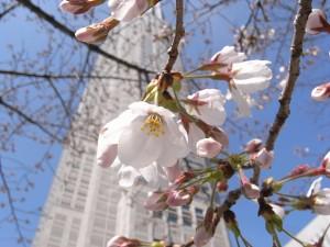 都庁前の桜<br />