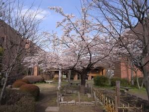 麻生区総合庁舎の玉縄桜