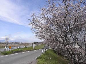 和泉多摩川 狛江高校近くの桜並木4/1