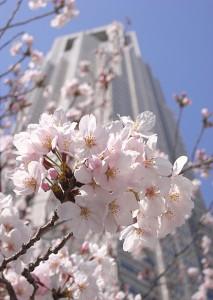 都庁前桜4/3<br />