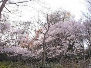 4月4日中央公園