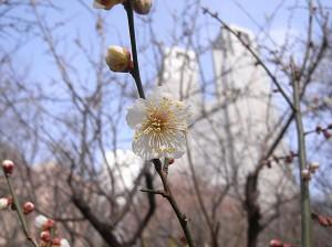 新宿中央公園 梅