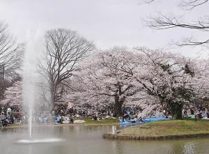 2012 代々木公園桜満開