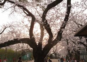 羽根木公園 桜