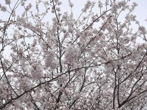 芹ヶ谷公園の門辺りの桜